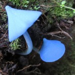 blue toadstools